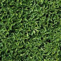 Alternanthera leh. 'E - Green'