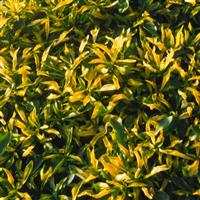 Alternanthera leh. 'G - Gold-Green'