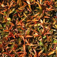 Alternanthera leh. 'J - Orange-Brown'