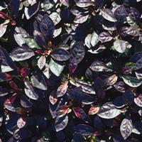 Alternanthera leh. 'K - Dark Purple-Black'