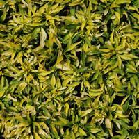 Alternanthera leh. 'O - Yellow-Green Betti'