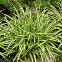 Chlorophytum elatum 'Variegatum'