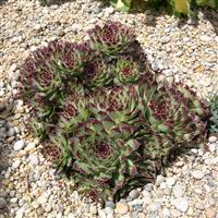 Sempervivum calcareum