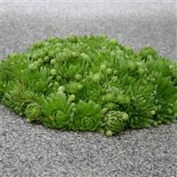 Sempervivum 'Standard Green'