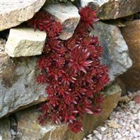 Sempervivum tectorum 'Rubin'